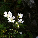 Field chickweed