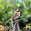 Yellow-throated Bunting (male)