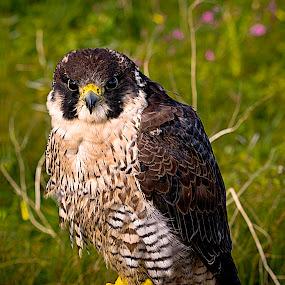 peregrine falcon by Marco Aquilina - Animals Birds (  )