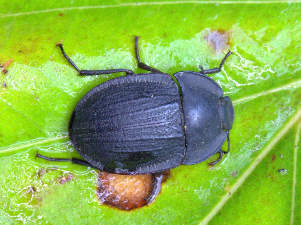 Pie-dish beetle (Tenebrionidae)