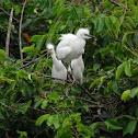 Snowy Egret (juvenile)