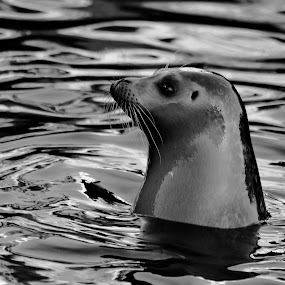 An attentive seal by Ruth Holt - Black & White Animals ( scarborough, attentive, mealtime, sealife, watching, seal,  )