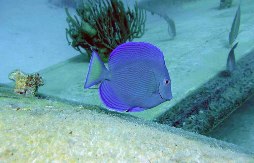 blue-fish-Aruba - A blue-purple tropical fish spotted by a snorkeler in the waters around Aruba.