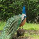 Pea fowl