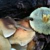 Naematoloma fasciculare (sulfur tuft)