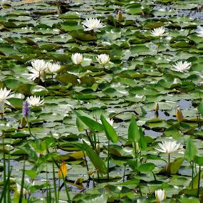 Water lilies  by Plamen Valkovski - Flowers Flowers in the Wild