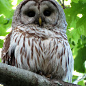 Barred Owl