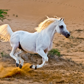 Flying Horse by Wissam Chehade - Animals Horses ( pride, flying, wild, desert, uae, horse, majesty, white, beauty, gold, arabian horses,  )