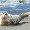Harbor Seal (pup)