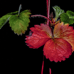 Berry Dark by Brian Stout - Nature Up Close Leaves & Grasses ( contrast, plant, straberry, berry, red green, red, green )