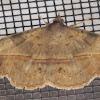 Velvebean Moth