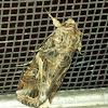 yellow striped armyworm moth