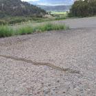 Gopher / Bull Snake