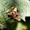 Ambush Bug.
