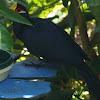 Violet Plantain Eater
