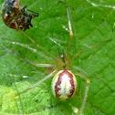 Candy Stripe Spider