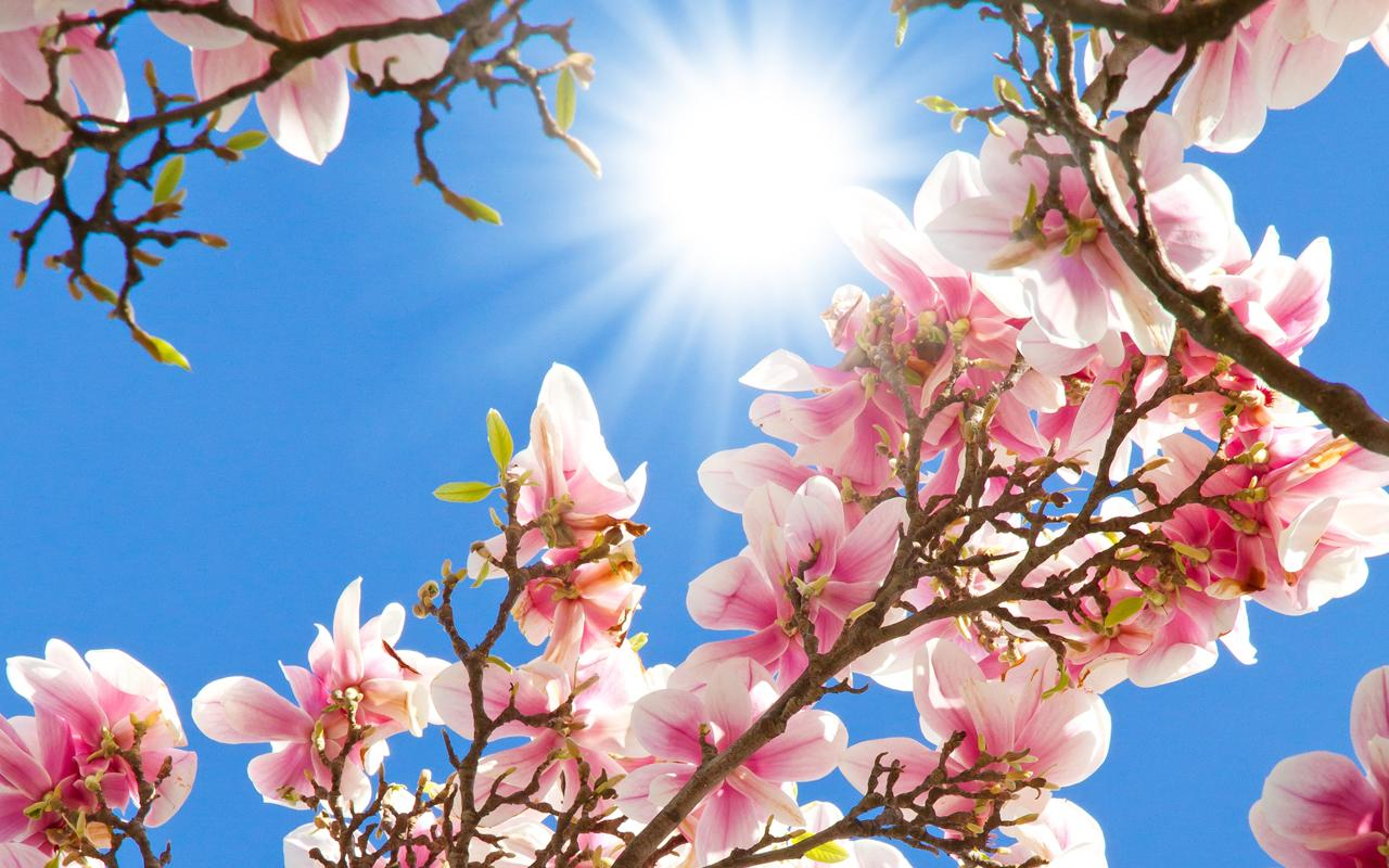 magnolia-flori copaci