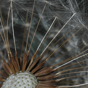 Dandelion  by Vasiliu Leonard - Nature Up Close Other plants ( macro, dandelion, dandelions, close up, macro shot,  )