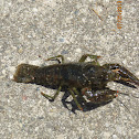 Northern Crayfish