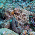 Cephalopods of the Aegean Sea