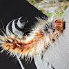 Hairy Mary Caterpillar