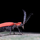 Long Nosed Lycid Beetle