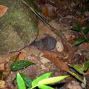 Greater Hedgehog Tenrec