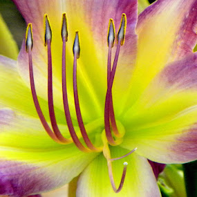 Beauty by Dawn Marie - Flowers Single Flower ( stigma, lily, purple, petals, bloom, stem, yellow, garden, flower, floral, blossom )