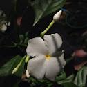 Gerdenia crape jasmine
