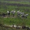 Eurasian Spoonbills