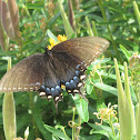 Eastern Tiger Swallowtail (female, black form)
