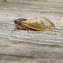 13 year Cicada