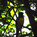 Black Throated Trogon