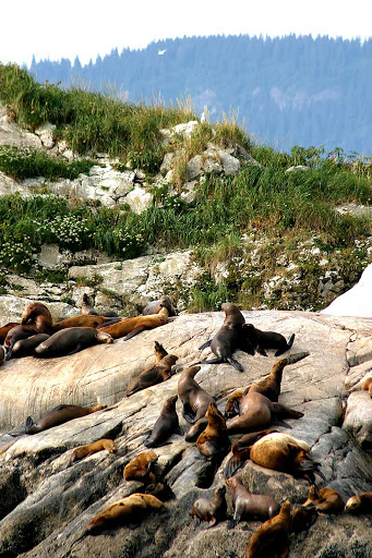 sea-lions-Glacier-Bay - Sea lions catch some rays on the boulders by the water in Glacier Bay National Park, Alaska.