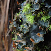 Fingered Dog Lichen
