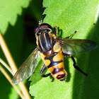 Wasp Mimicking Hoverfly