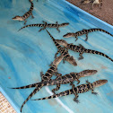 Baby American Alligators