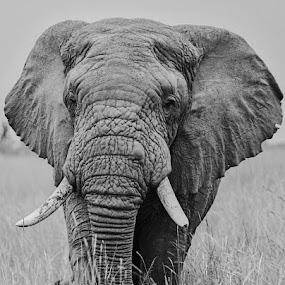 Elephant by Lourens Lee Wildlife Photography - Animals Other ( animals, elephant,  )