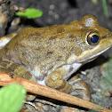 Cape River Frog