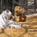 Bengal Tiger & White Tiger