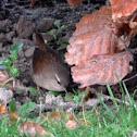Winterkoninkje, Eurasian Wren