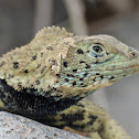 Espaniola lava lizard