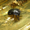 Carrion beetle,Escravelho