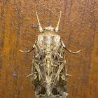Cotton Leafworm Moth