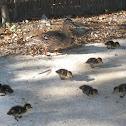 Mallard Duck and ducklings