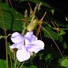 Thunbergia laurifolia, Laurel clock vine