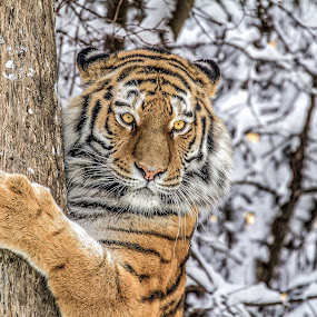 Tiger at the tree by Horst Winkler - Animals Lions, Tigers & Big Cats ( winter, tiger, snow,  )