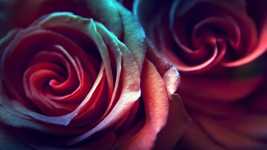 Rose Live Wallpaper screenshot 7