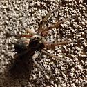 Carolina Wolf Spider