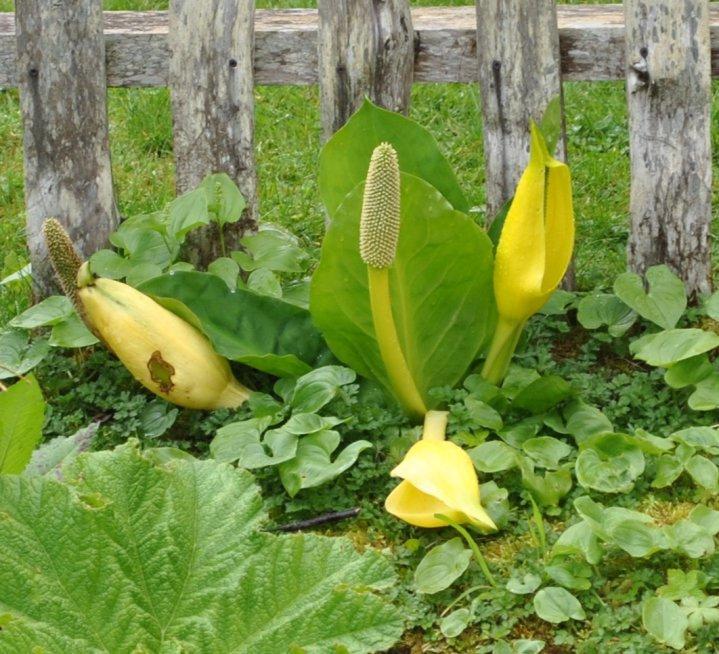 Yellow Skunk Cabbage